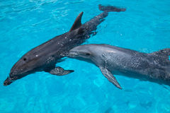 Two Swimming Dolphins in the Blue Water. Two Dolphins Swimming in the Blue Water in the Bright Sunny Day Stock Photo