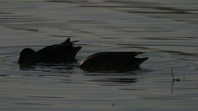 Two swimming ducks on a lake in the twilights in summer. A striking view of two brown ducks hunting and swimming in the lake in summer in slow motion. The stock footage