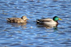 Two Swimming Ducks Royalty Free Stock Image