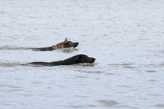 Two swimming Germany sheepdogs Royalty Free Stock Images