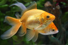 Two swimming goldfish stock image