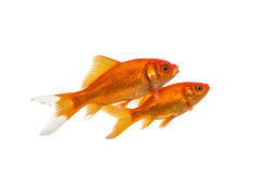 Two swimming goldfish. Isolated on a white background royalty free stock photo