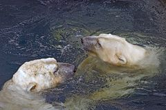 Two Swimming Polar Bears. Two Polar Bears, seen from above swiming Royalty Free Stock Image