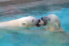 Two swimming white bears Stock Photo