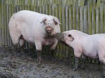 Two swines Stock Photography