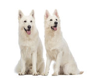 Two Swiss Shepherd dogs, 5 years old, sitting, panting and looking up Royalty Free Stock Image