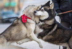 Two Syberian Husky Dogs Hugs Each Other. Dog Love Concept Stock Photography