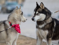 Two Syberian Husky Dogs Looks to Each Other. Dog Love Concept Stock Photo