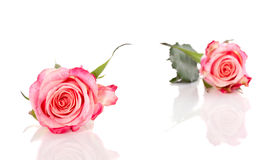 Two symbolic pink orange roses Royalty Free Stock Image