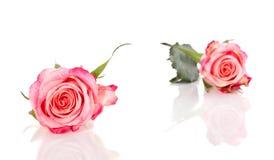 Two Symbolic Pink Orange Roses Royalty Free Stock Image
