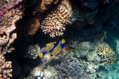 Two Symmetrical Angelfish. In the Coral Reef, Red Sea royalty free stock photos