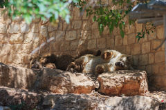 Two Syrian bear resting in the shadow of the day Stock Photos
