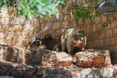 Two Syrian bear resting in the shadow of the day Stock Photography