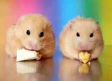 Two syrian hamsters eating dinner together royalty free stock image