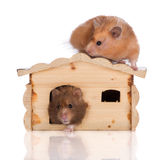 Two syrian hamsters in a wooden house Royalty Free Stock Photos