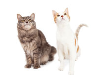 Two Tabby Cat Sitting and Looking Up To The Sky Royalty Free Stock Images