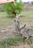 Two tabby cats begging for food Stock Image