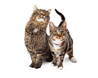 Two Tabby Cats Looking Up Stock Image