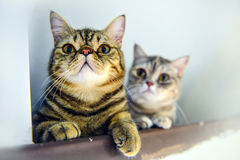 Two tabby cats in love. Two tabby cats are playing in the room royalty free stock images