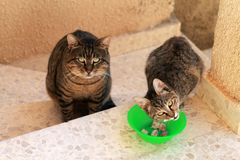 Two cats and a bowl of meat royalty free stock image