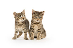 Two tabby kittens Stock Image