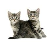 Two Tabby Kittens On White
