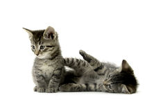 Two tabby kittens on white. Two cute tabby kittens on white background Stock Images