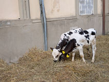 Two tagged calves indoors with bedding etc. Stock Photo