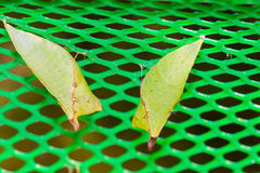 Two Tailed Jay pupa Royalty Free Stock Photo