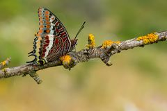 The two-tailed pasha or foxy emperor butterfly charaxes jasius Royalty Free Stock Photography