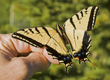 Two-tailed Swallowtail in hand stock photography