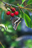 Two Tailed Swallowtailed butterfly on wild cherries Royalty Free Stock Photos