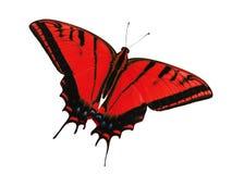 Two-tailed swallowtailvlinder op wit wordt geïsoleerd dat Kleurenverandering in rood stock afbeelding
