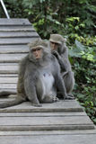 Two Taiwan macaques Royalty Free Stock Photography