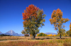 Two tall autumn trees Stock Photography