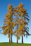 Two tall autumnal larch trees Royalty Free Stock Photos