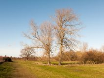 Two tall bare branch trees in grassy field spring nature landscape. Essex; england; uk Stock Photo