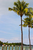 Two tall coconut palms near the pier in Miami Beach, Florida. Stock Photos