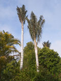 Two Tall Exotic Trees Stock Photo