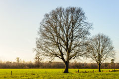 Two tall and leafless trees in a flat rural landscape royalty free stock photo