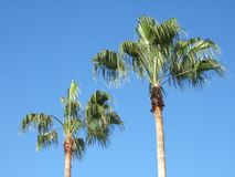 Two Tall Palm Trees. Two Palm Trees in Orlando Florida stock photos