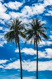 Two tall palm trees against the sky. Two tall palm trees with coconuts against the blue sky and white clouds stock images
