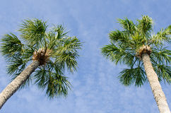 Two tall palm trees Stock Photography
