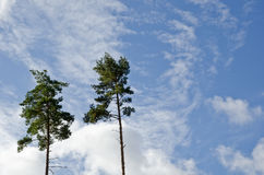 Two tall pine trees Royalty Free Stock Images
