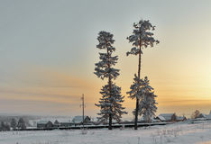 Two tall pine trees covered with snow. Royalty Free Stock Image