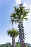 Two tall standing palm trees Royalty Free Stock Image
