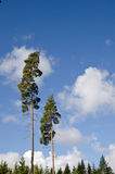 Two tall trees Stock Image