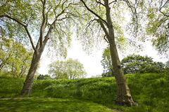 Two tall trees next to a small hill Stock Photos