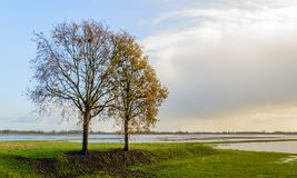 Two tall trees in a wet landscape. Largely flooded polder area in the Netherlands. In the foreground are two tall, almost bare trees. It is a sunny day in the Royalty Free Stock Image