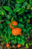 Two tangerines between leaves Stock Photos